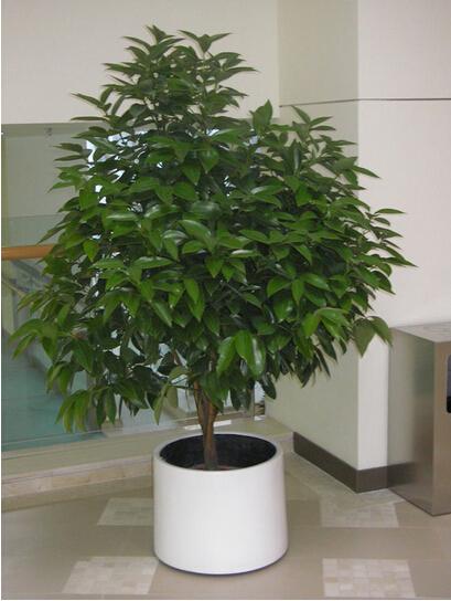 平安树(大盆植物)_大盆植物